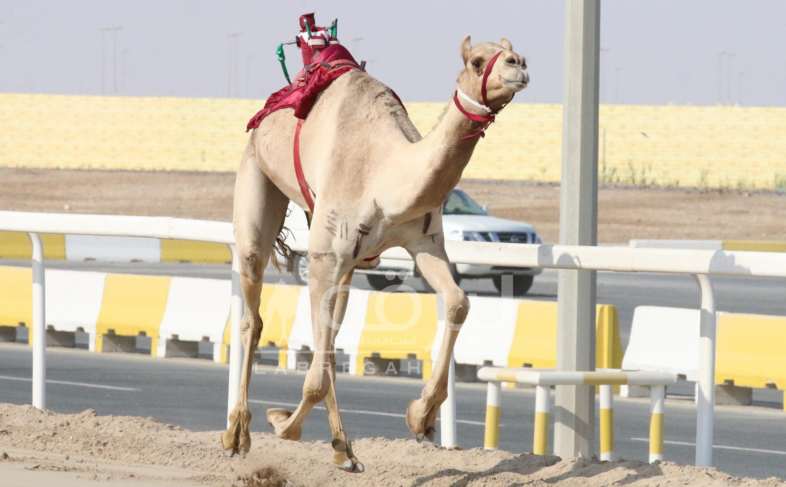 """""""غالية"""" للشيخ سعود بن فهد تنتزع ناموس الحيل مفتوح"""
